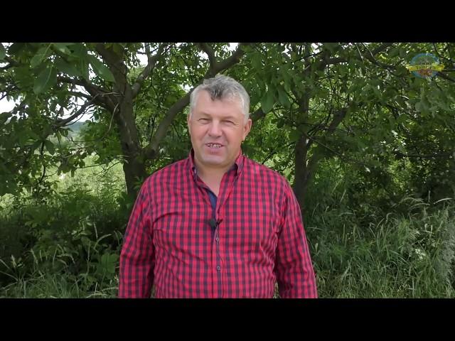 № 92 Літня обрізка горіха: 9 найважливіших питань