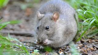 Крыса серая(Rattus norvegicus)