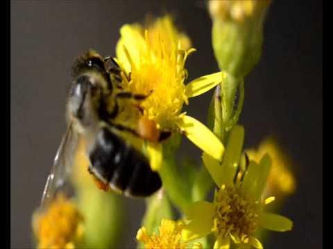 Abeja sobre una flor recolectando polen de YouTube · Duración:  56 segundos  · Más de 11.000 vistas · cargado el 11.10.2011 · cargado por Natural Remedies and Medicinal Plants