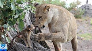 メスライオンに襲われたヒヒにしがみついていたヒヒの赤ちゃん。その後...
