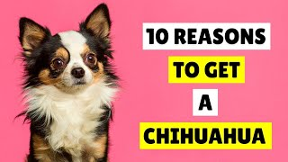 10 RAZONES para conseguir un perro chihuahua  PERROS 101
