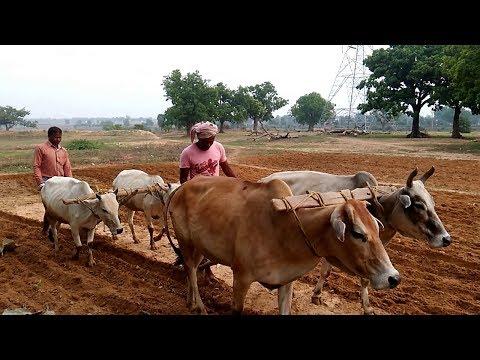 'आज भी भारतीय गांवों में होती है हल और बैल से खेती'- Rural India or Real India