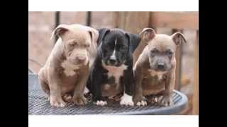 How To Potty Train A Pitbull | FREE MINI COURSE