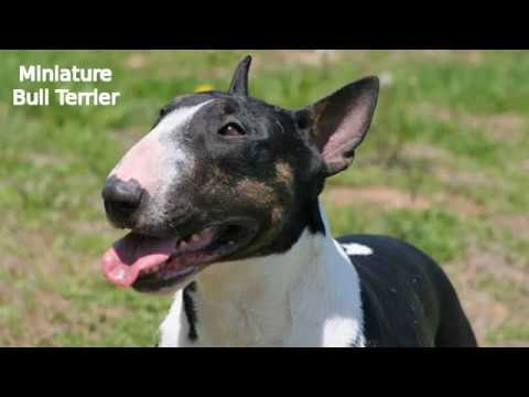 Miniature Bull Terrier - small dog breed