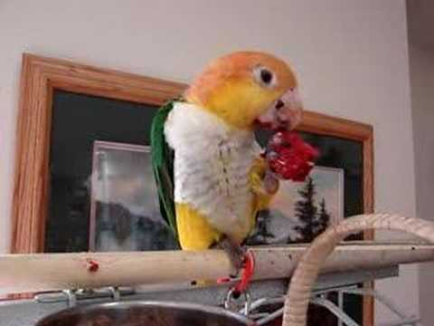 Merry the White-Bellied Caique