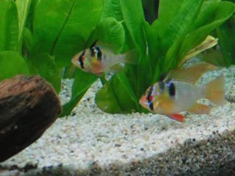 Happy easter ram cichlids schmetterlingsbuntbarsche for Zierfische aquarium