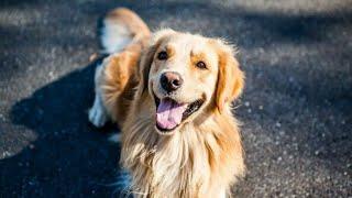 🐕Золотистый Ретривер🐕-всё о породе собак| Информация о Породе❤️