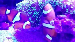 Рыбы-клоуны нерестятся в небольшом морском аквариуме