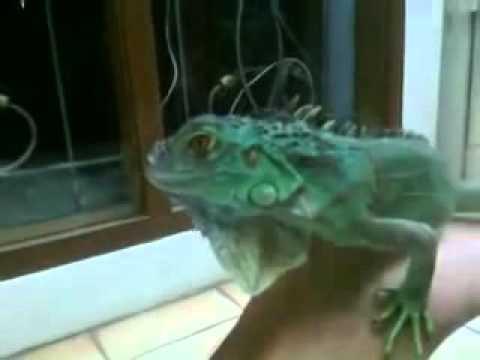 Green Iguana Blue Diamond