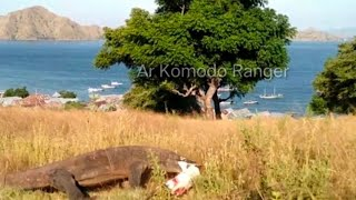 Komodo pounces on its prey on the Hill of its Territory
