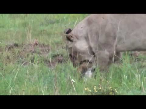 Lion Kill (young lion catches baby springbok)
