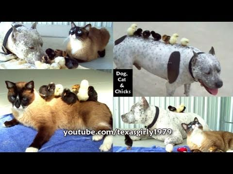 Dog, Cat and Chicks! On Sunday Morning 'Animal Attractions' Pit Bull Sharky & Roomba Cat