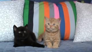 черная кошка и красный кот