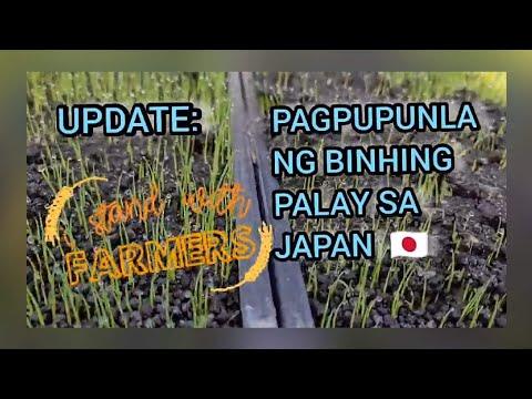 UPDATE: PAGPUPUNLA NG BINHING  PALAY SA JAPAN