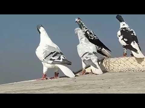 حمام الأخ محمد الومان طيور  pigeons  Guvercinler  Vögel  uccelli_  پرندگان_  Oiseaux  鳥類