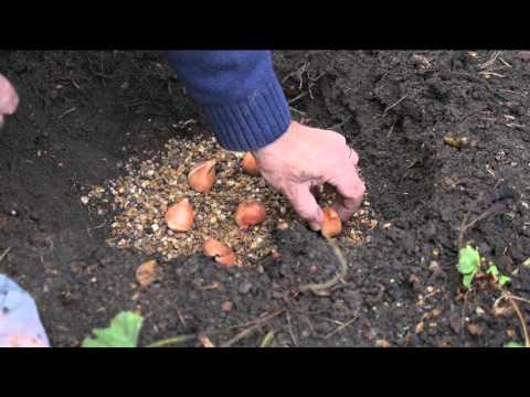 Tulip Planting Tips