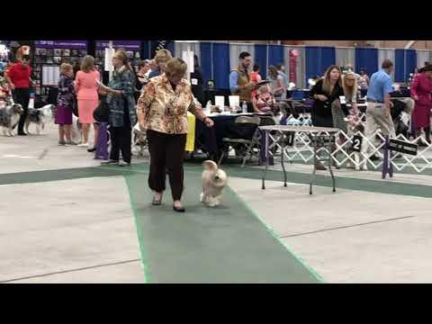 20190811 Löwchen All Breed Judging Harrisburg, PA Keystone Cluster Dog Show Day 3