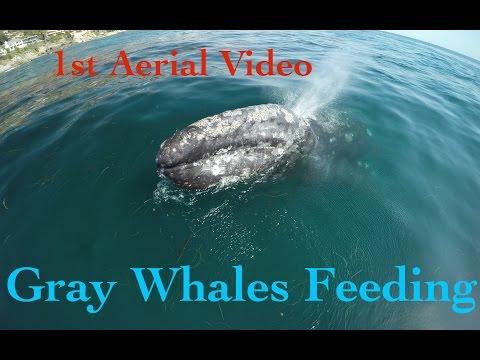 Cute Baby Gray Whale Feeding  rare drone 4k video