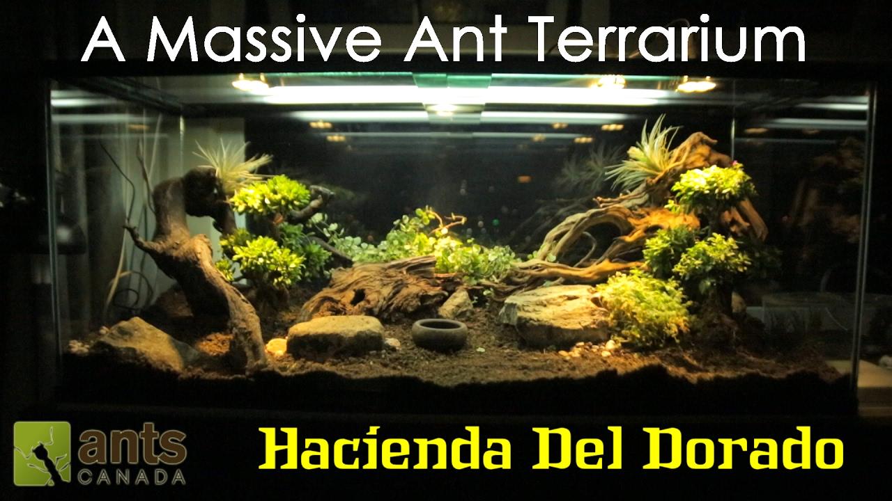 A Massive Ant Terrarium Hacienda Del Dorado Youtube