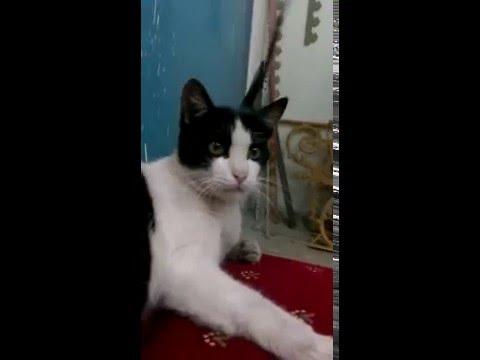 my cat in doha