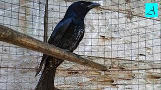 Langsung respon!!! Terapi Burung Srigunting lelet dan males bunyi