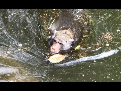 Poor monkey is swimming just like a dog