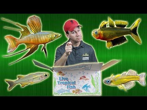 Fish Store Unboxing - Lots Of Beautiful Dwarf Rainbow Fish