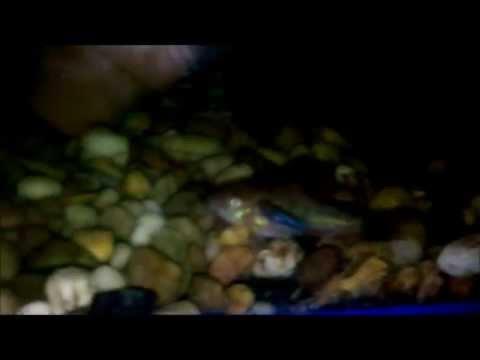 ปลากัดหูช้างอายุ34วัน-ลูกปลารวม