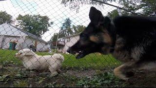 Aggressive Shih Tzu hates German Shepherd