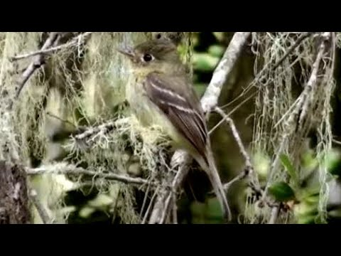 pacific-slope-flycatcher-single-call