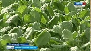"""""""Беби лиф"""" растения будут выращивать на Ставрополье"""