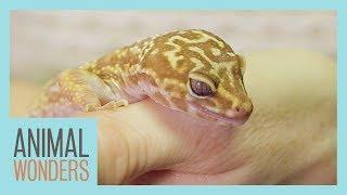 Leopard Gecko Rescue
