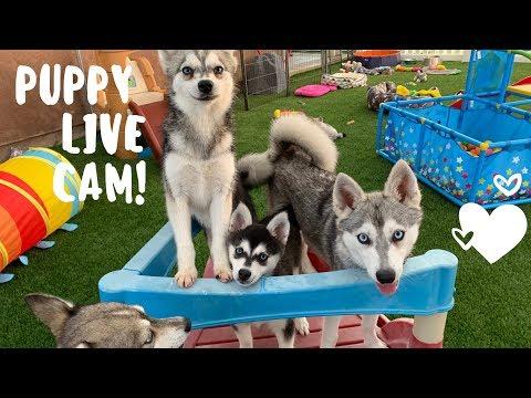 Live Puppy Cam- Adorable Alaskan Klee Kai-Miniature Husky Puppies