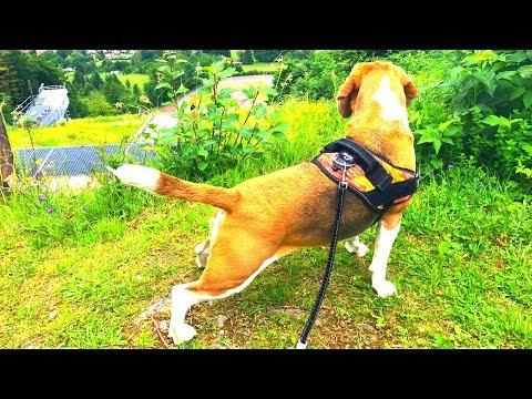 HOW IS WALKING A BEAGLE LIKE? FUNNY BEAGLE DOG LOUIE