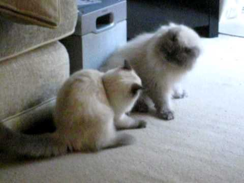 Ragdoll and Himalayan Cats play fight