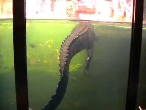 Крокодил австралийский соленоводный фото