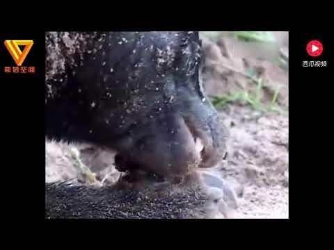 活撕眼镜王蛇都是小儿科,看到蜜獾吃这个,直接吓懵了!