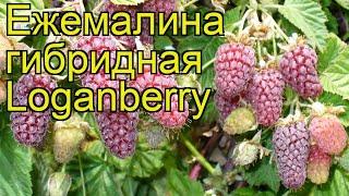 видео Ежемалина Логанберри
