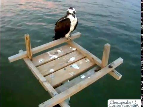 Chesapeake Osprey Maryland 3.9.16 545pm-730pm osprey on nest platform looked and acted like Audrey