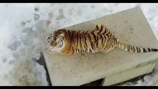 Drone video of tigers in the snow