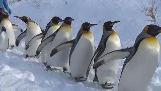 北海道旭川市の旭山動物園で12日、園内をよちよちと歩くペンギンの群れ...