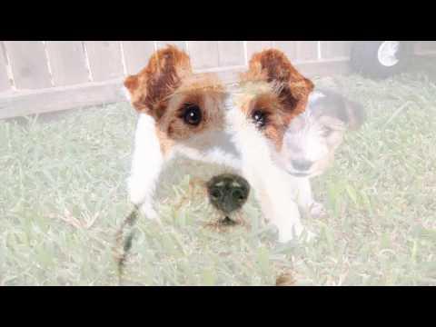 Fox Terrier dog Learning  Video