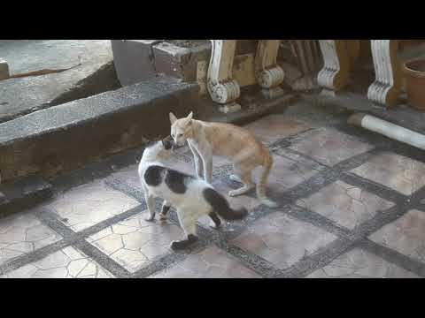 Cats Fighting - 3