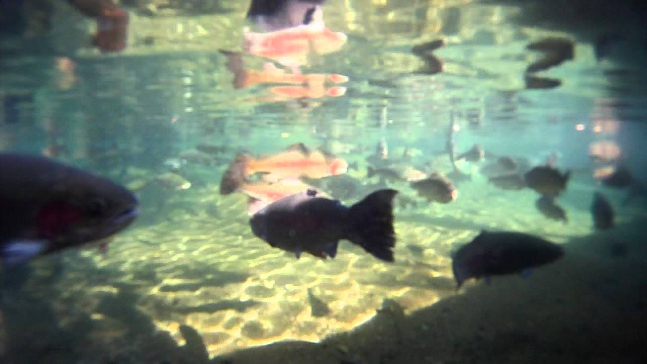 Fish attacks camera bonneville dam oregon youtube for Fish count bonneville