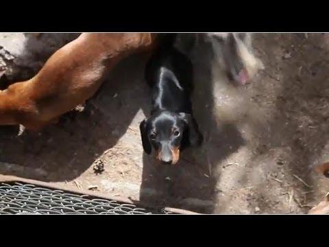 Объявления о продаже взрослых собак и щенков: немецкие овчарки, лабрадоры, хаски, чихуахуа, джек. Купите породистого щенка недорого на юле.