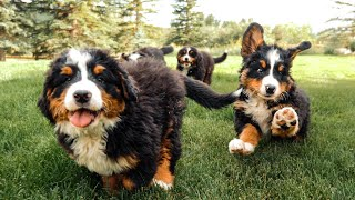 Bernese Mountain Dog Puppies Playing in Slow Motion || Ep 12