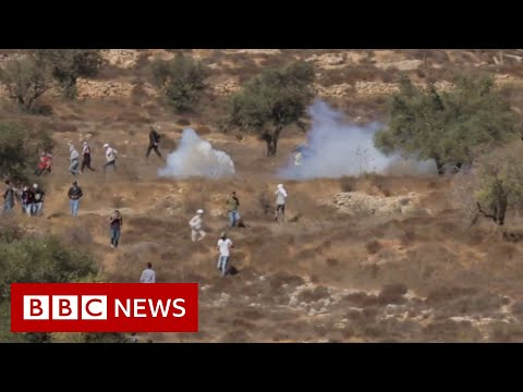 Olive harvest in jeopardy as tensions rise at the West Bank - BBC News