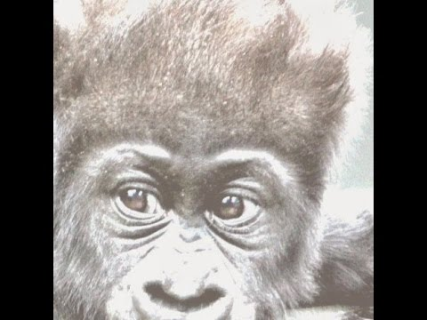 me at the zoo (gorilla)