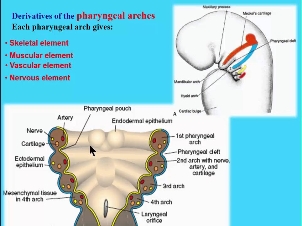 3 pharyngeal arches introduction - YouTube