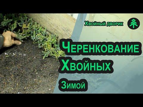 Зимнее черенкование хвойных растений-посадка черенков туи и можжевельника